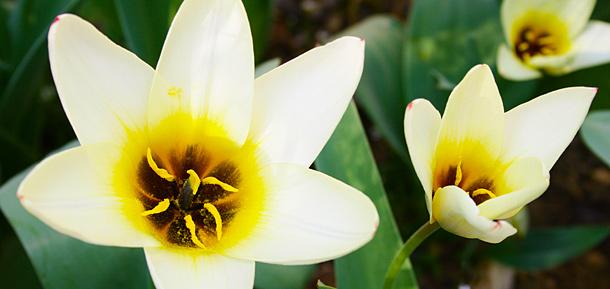Tulipe en fleur